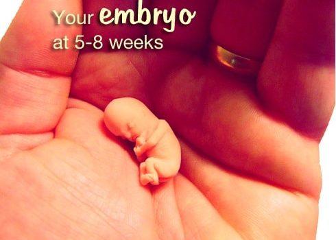 When Does a Fetus Develop a Heartbeat?