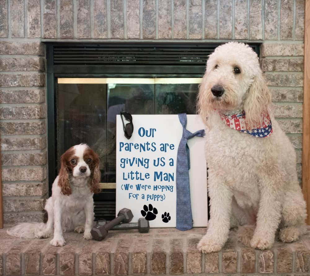 pregnancy announcement with pets