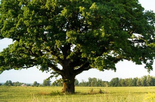 33 Names That Mean Oak