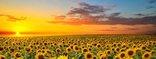 12 Names That Mean Sunflower