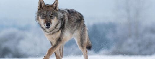 50 Names That Mean Wolf